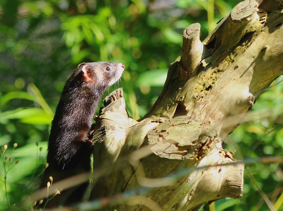 Iltis, Marten, Nature, Omnivore, Animals