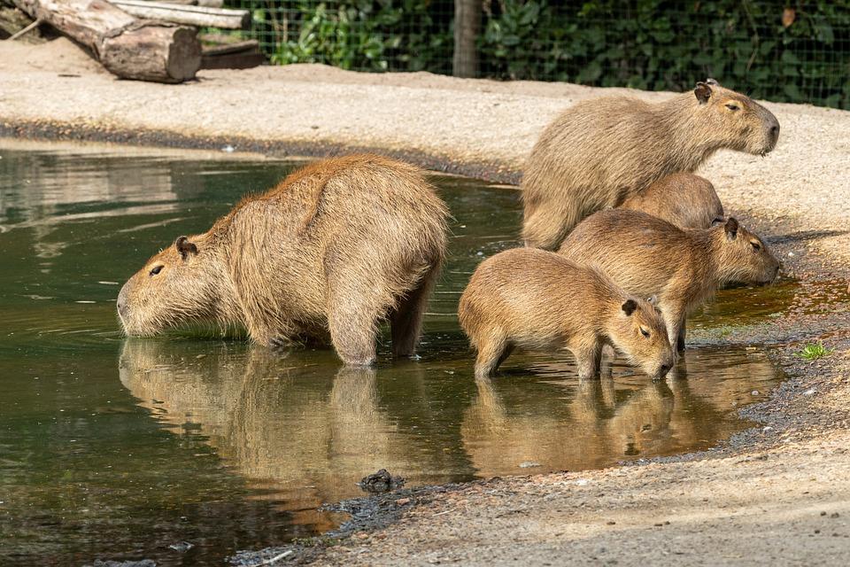 Capybara, Rongeurs, Mammifères, Des Animaux