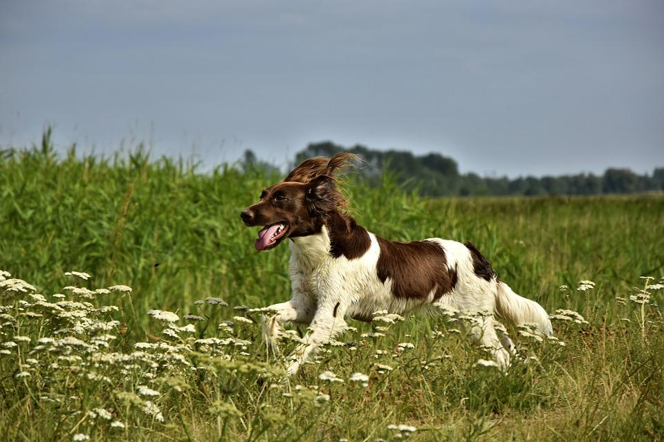 Dog, Small Münsterländer, Münsterländer, Hunting Dog