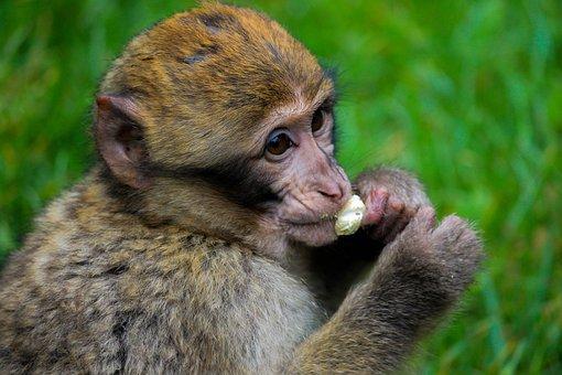 Opice, Zvíře, Zvířata, Příroda, Savci