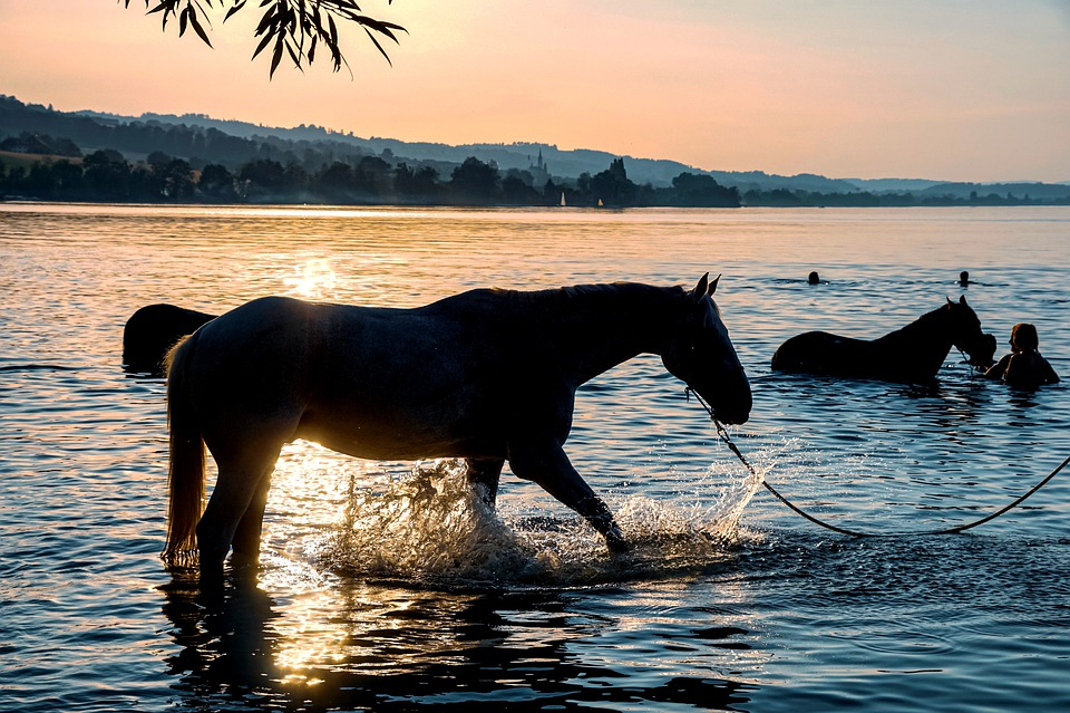 Cavalli, Nuotare, Lago, Acqua, Tramonto, Acque