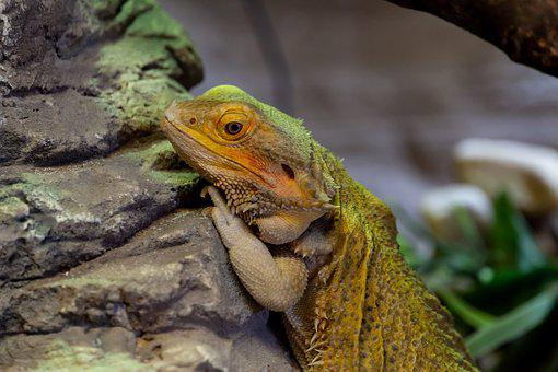 100+ Free Bearded Dragon & Lizard Images - Pixabay