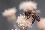 makro, pszczoła, owady