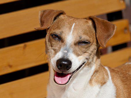 Chien, Rire, Jack Russel, Animaux