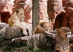 lew, rodzina, afryka