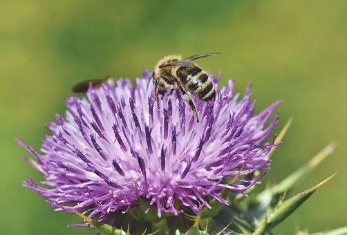 Abeja, Miel De Abeja, Insectos, Flor