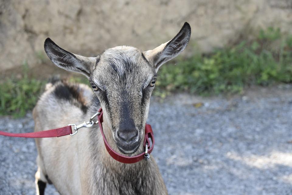 тому уши козы картинка модели