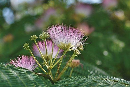 ネムノキ, アカシアの絹, 寝ツリー, 木, 花, ピンク, ブルーム