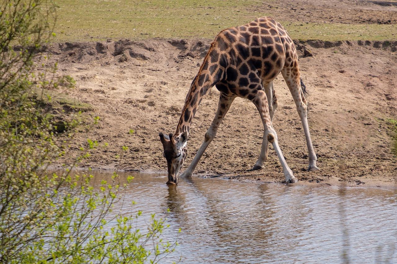 жираф в воде картинки прикол фоткам, долго