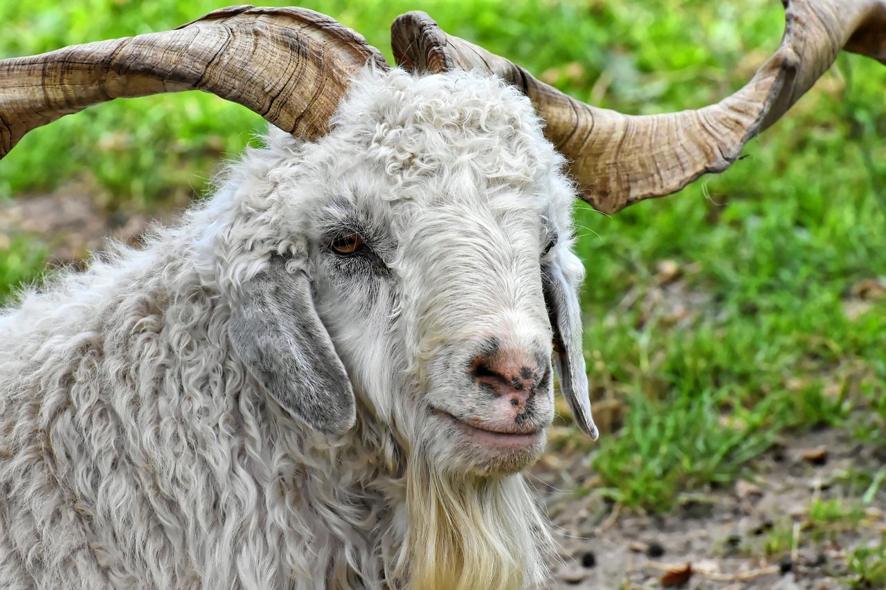 камчатку картинка шерсть козы приводи собой всех