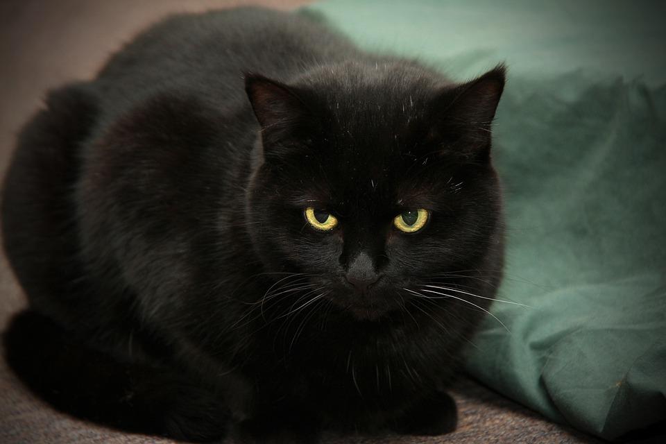 Historia de los gatos, gato negro