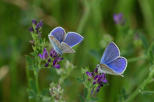 蝶, シジミチョウ科, 牧草地, 自然, 塞ぎます