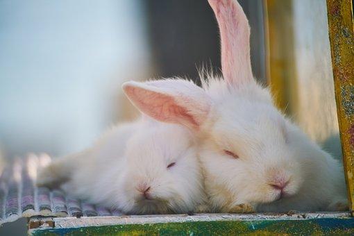 Conejo, Blanco, Hermosa, Lindo, Animal
