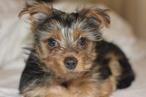 Yorkie, Dog, Cute, Terrier, Yorki