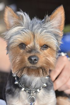 Yorkie, Dog, Puppy, Cute, Adorable