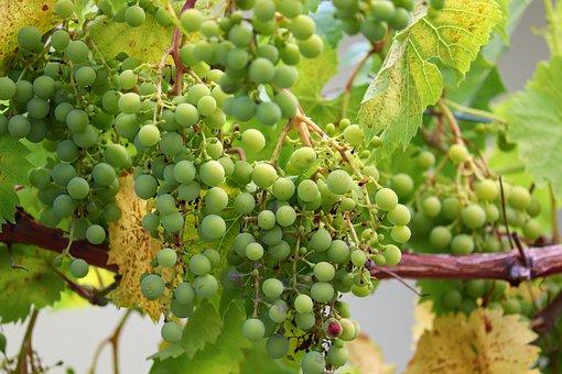 900+ Free Green Grapes & Grapes Images - Pixabay