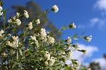 pimelea, ilustracja kwiaty, ojczysty