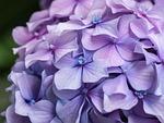 kwiat, kwiaty, hortensja