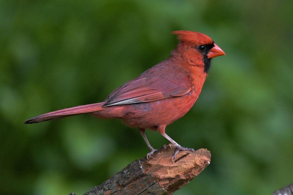 Male Northern Cardinal, Perched On A Log, Semi-Profile