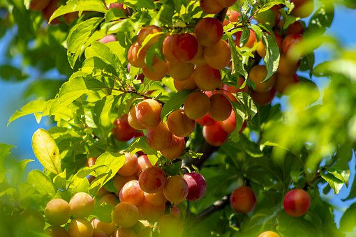 Plum, Fruit, Plum Tree, Burgundy