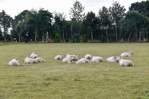 Vacas, Las Vacas Charolais