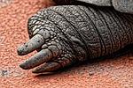 gigantyczne żółwie lądowe, stopa, tylne