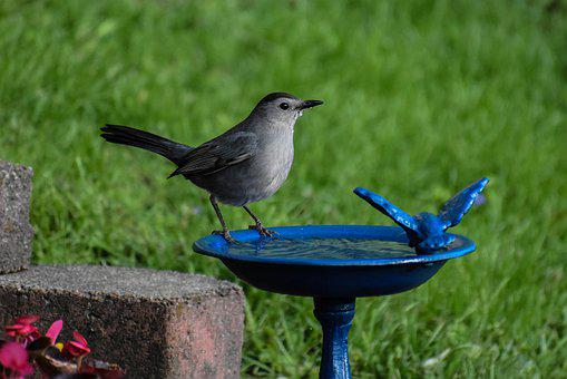 Bird, Gray Catbird, Drinking Water, birdbath, garden wildlife