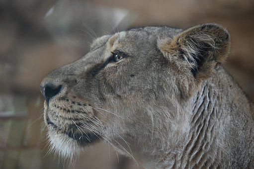 600+ Free Lioness & Lion Images - Pixabay