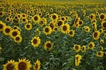 słonecznik, pole, żółty