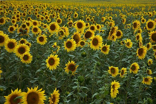 Sunflower, Field, Yellow, Agriculture