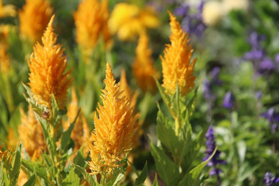 Flowers, Plants, Celosia, Yellow, Annual Plant, Garden