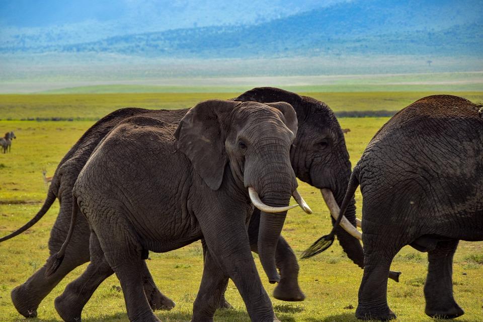 Éléphant, La Faune, Safari, Afrique, Nature