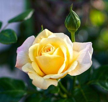 Mawar Kuning Fotos Unduh Gambar Gratis Pixabay