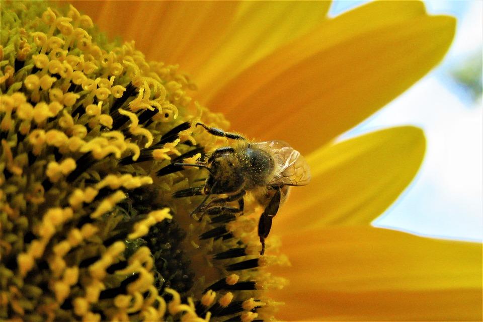 Abeilles, Le Pollen, Pollen, Tournesol, Abeille