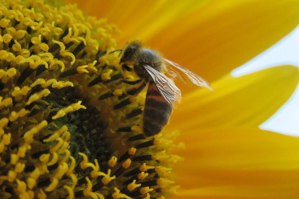 Abeille, Fleur, Pollen, Nature, Bug, Biologie, Animaux