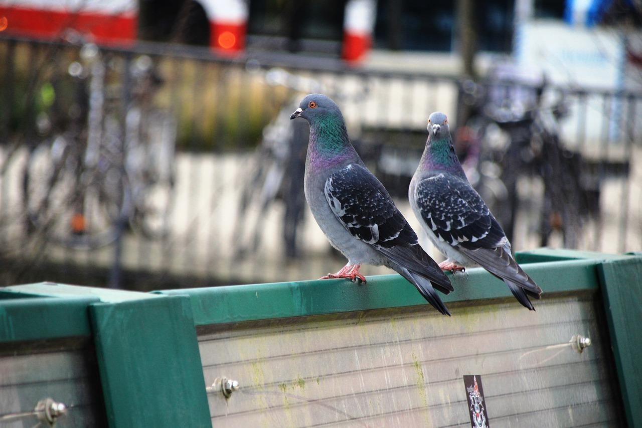 камень все о голубях фото картинки центр