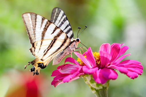 Schmetterling, Falter, Natur, Insekt