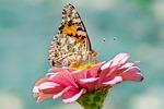 motyl, charakter, owad