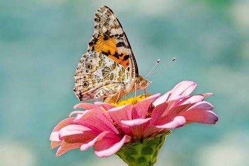 Schmetterling, Insekt, Blume, Natur