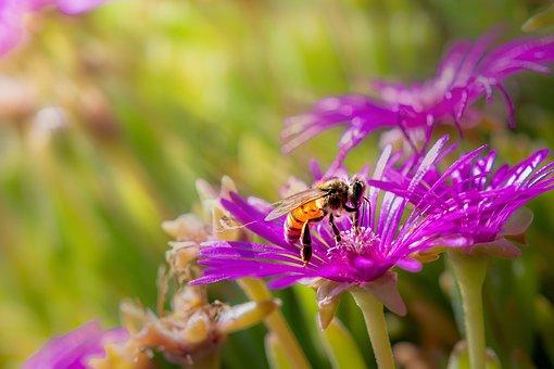 Biene, Blüte, Insekt, Honigbiene, Natur