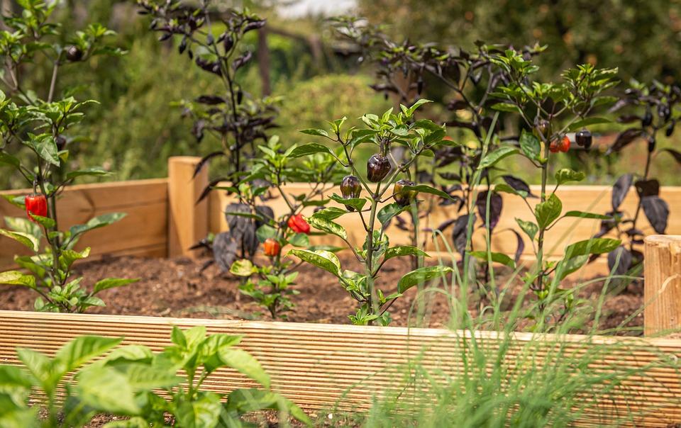 Lit Surélevé, Chili, Ciboulette, Jardin, Herbes, Nature