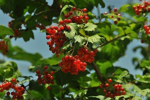 Viburnum, Red, Bush, Berry, Leaves