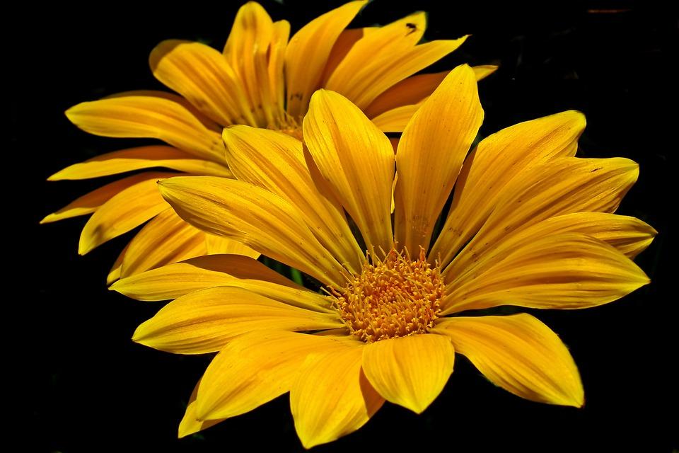 曼丁哥菊花