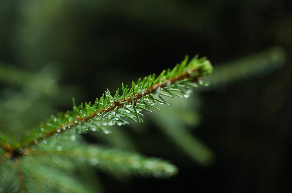 Tanne Kiefer Baum Kostenloses Foto Auf Pixabay