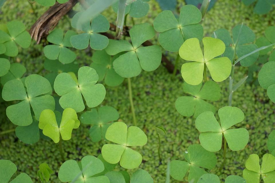 Good Luck Four Leaf Clover Plants Free Photo On Pixabay