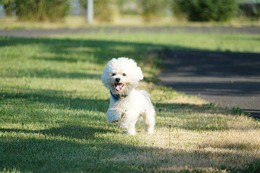 Dog, Sweet, Animals, Pets, Bichon