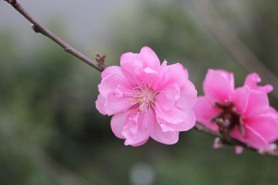 Peach Blossom Bunga Foto Gratis Di Pixabay