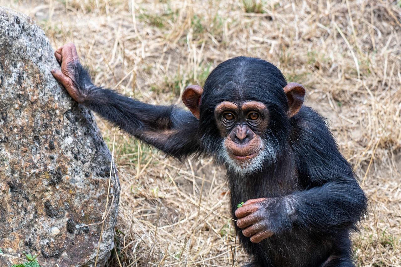 покажи картинки шимпанзе доме