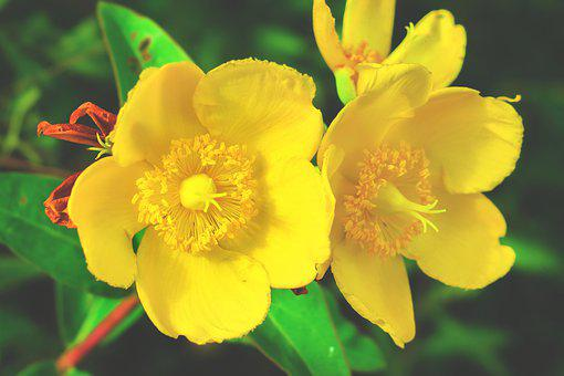 Millepertuis, Fleur, Bloom, Jaune, Été