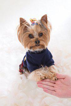 Yorkshire Terrier, Dog, One, Yorkie